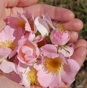 mani con petali di rosa